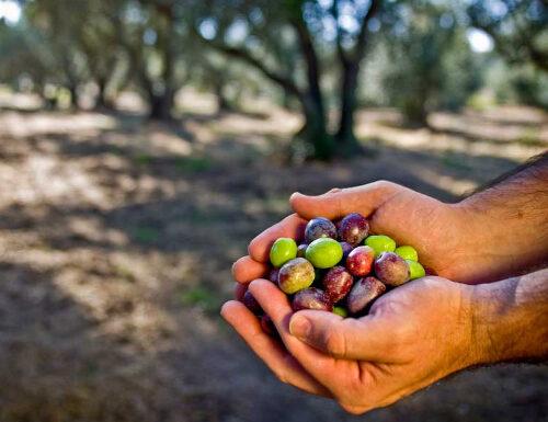 Calaveras olives