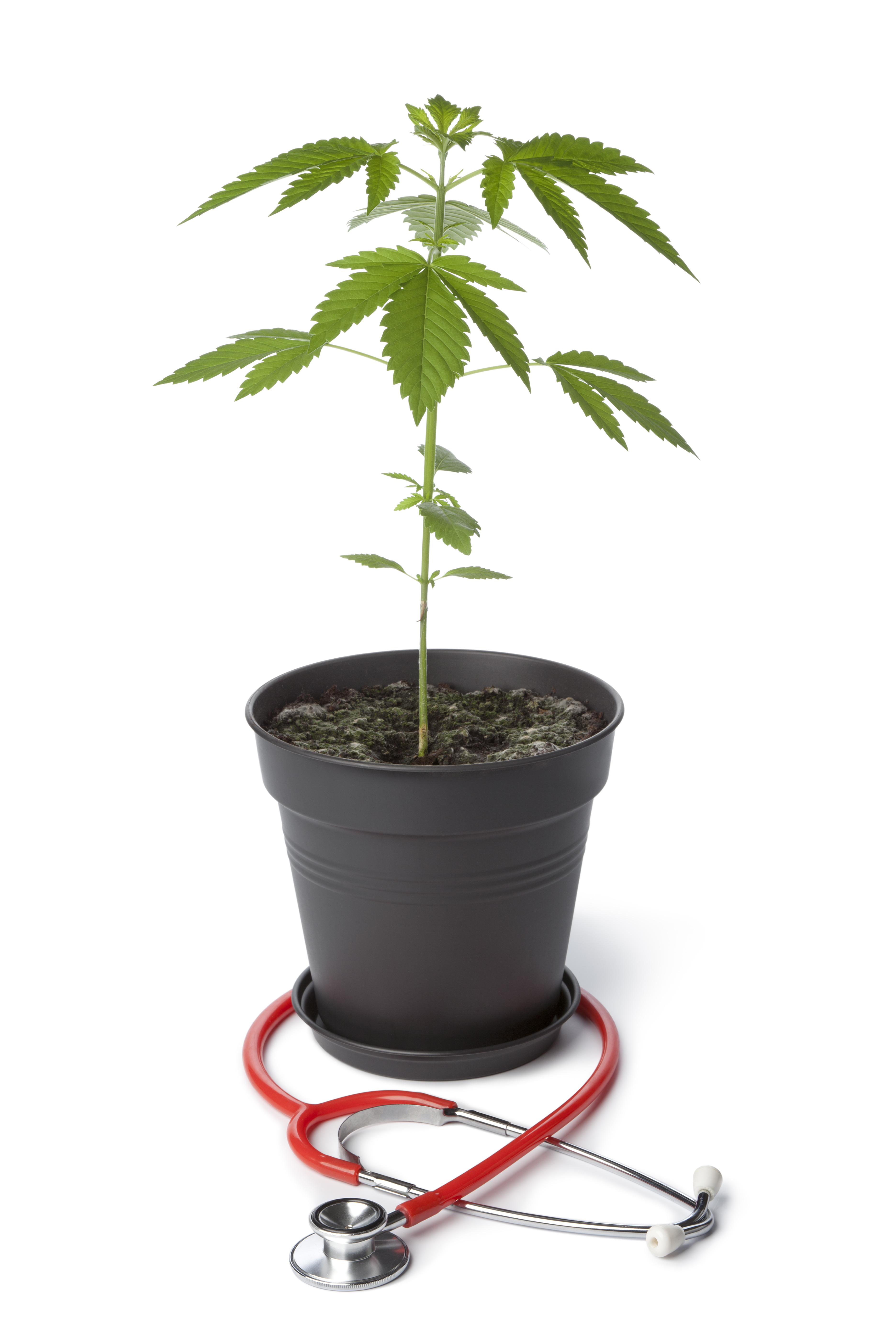 Marijuana plant used for medicinal cannabis with a stethoscope around it