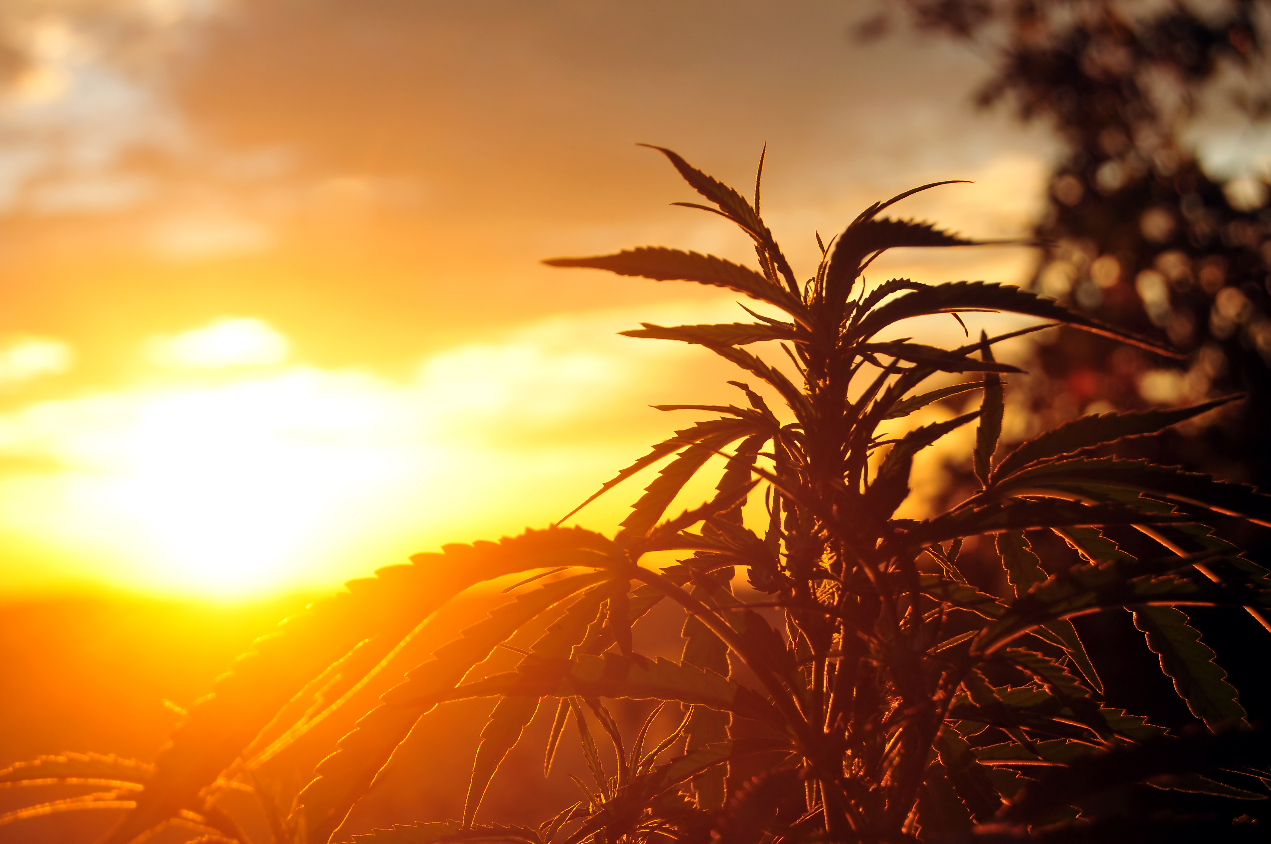 Marijuana plant used for medicinal cannabis with the sun setting behind it