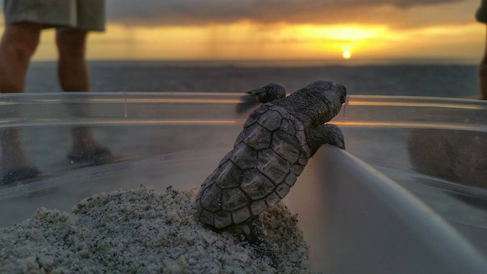 Baby sea turtle hatchling on the beach at sunrise.