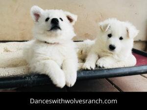 Berger Blanc Suisse Puppy