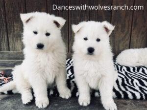 Berger Blanc Suisse Puppies