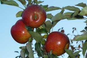 Ripe Spitzenberg apples