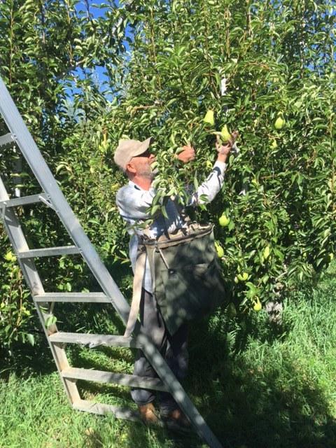 Bartlett Pear Harvest