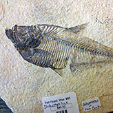 Picture of fish fossil from Dinosaur Ridge programs - adult field trips