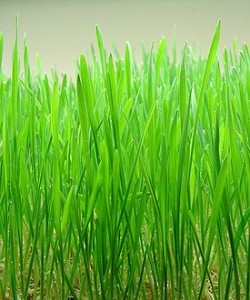 Barley Grass-What is in Shakeology?