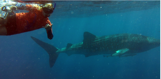 Whale Sharks at Ningaloo Reef