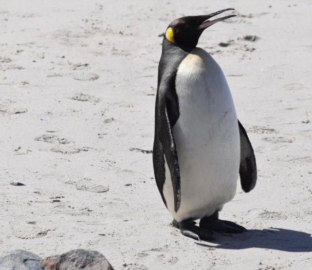 Lost King Penguin in South Africa