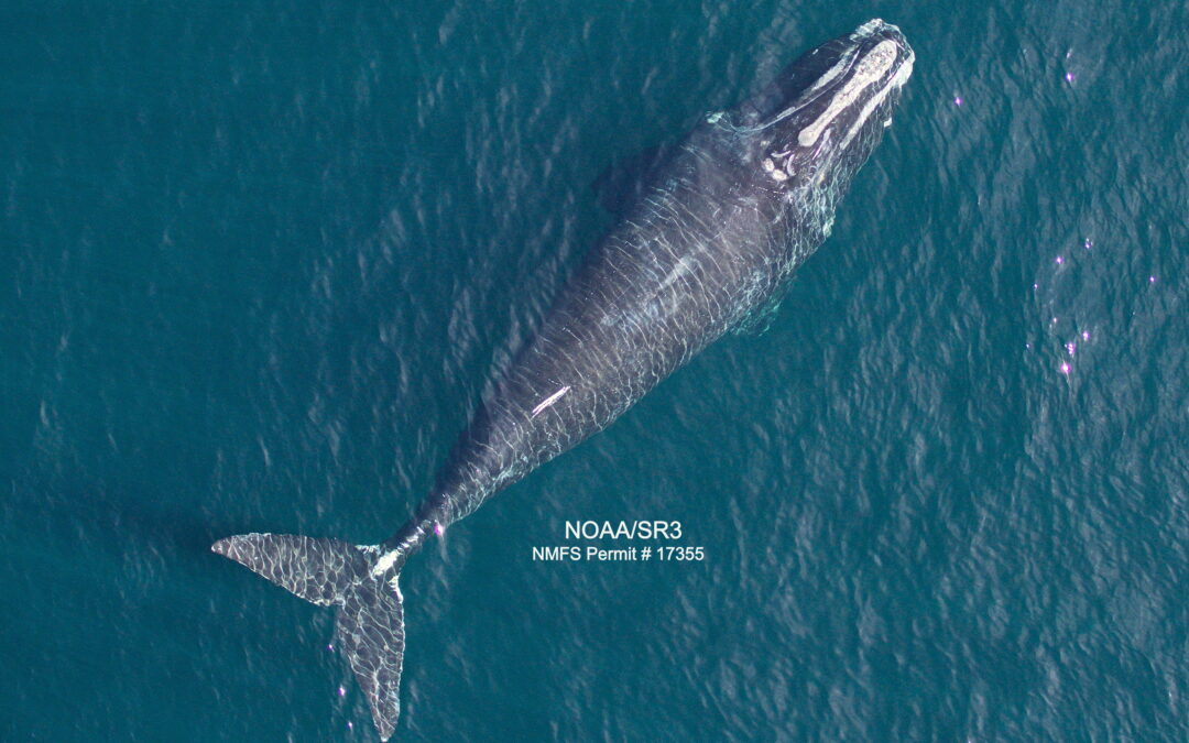 Report in 'Current Biology' Discussing a Decrease in North Atlantic Right Whale Body Length