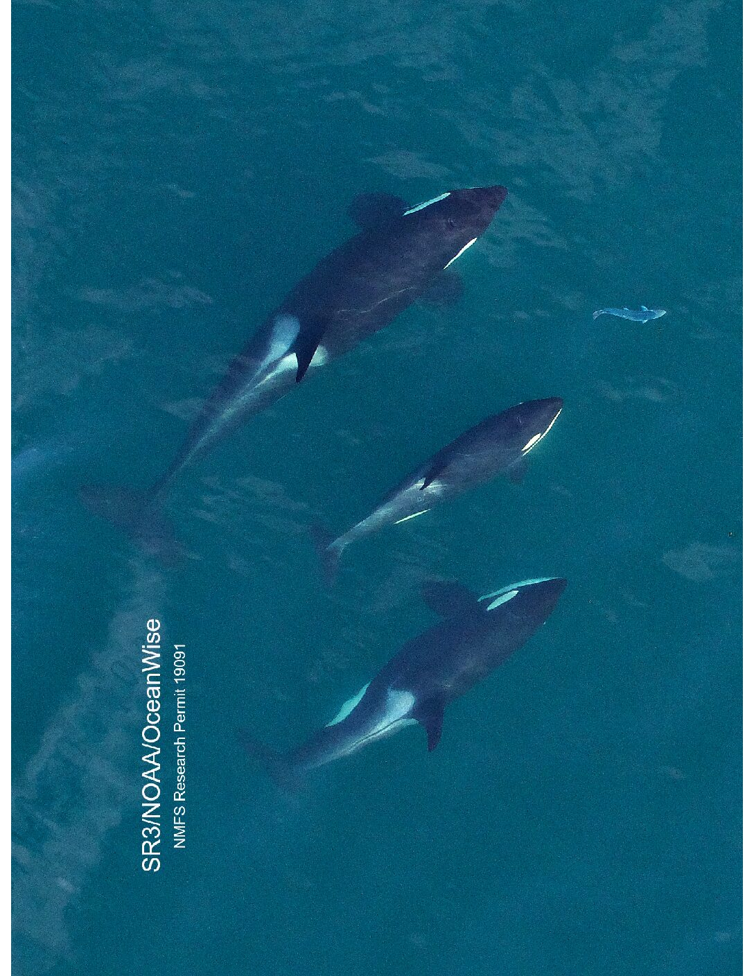 Killer Whales: Survival of the FATTEST