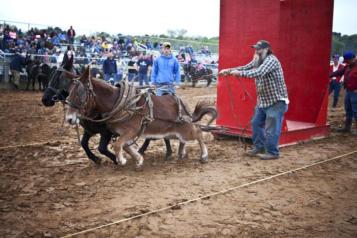 Pony Mule Pulling – Saturday 12:00 Noon