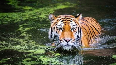 Photo of Endangered tigers face growing threats from an Asian road-building boom