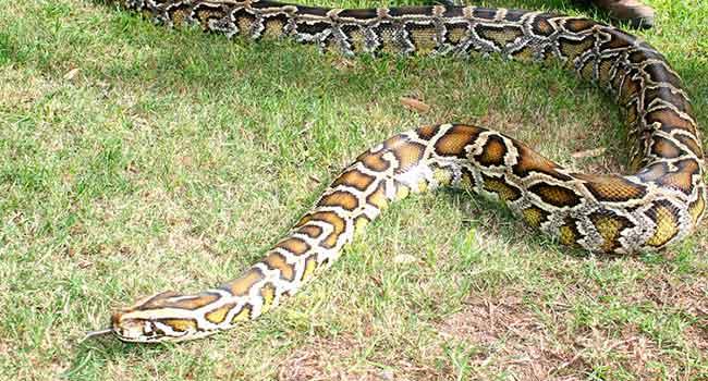burmese pythons1