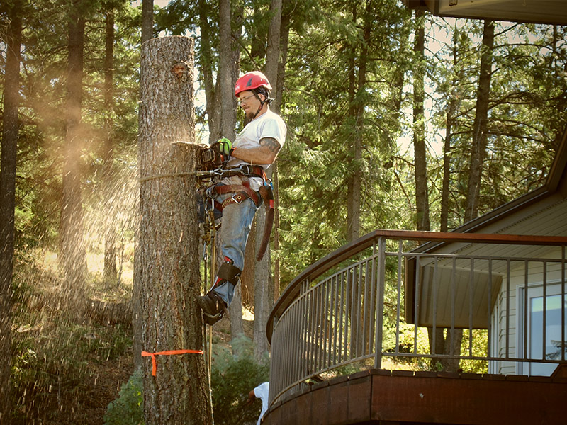 Highly Trained Tree Professional cutting tree close to house