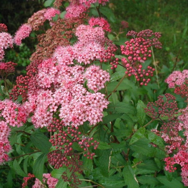 Pink spirea perennial great for Ohio gardens