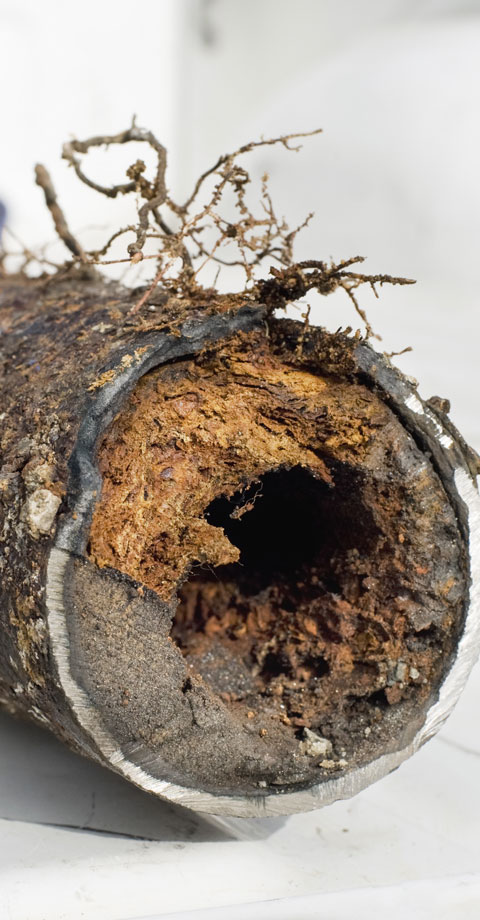 Tree roots inside an old sewer line pipe