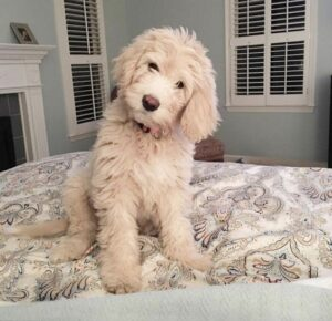 piper the english goldendoodle