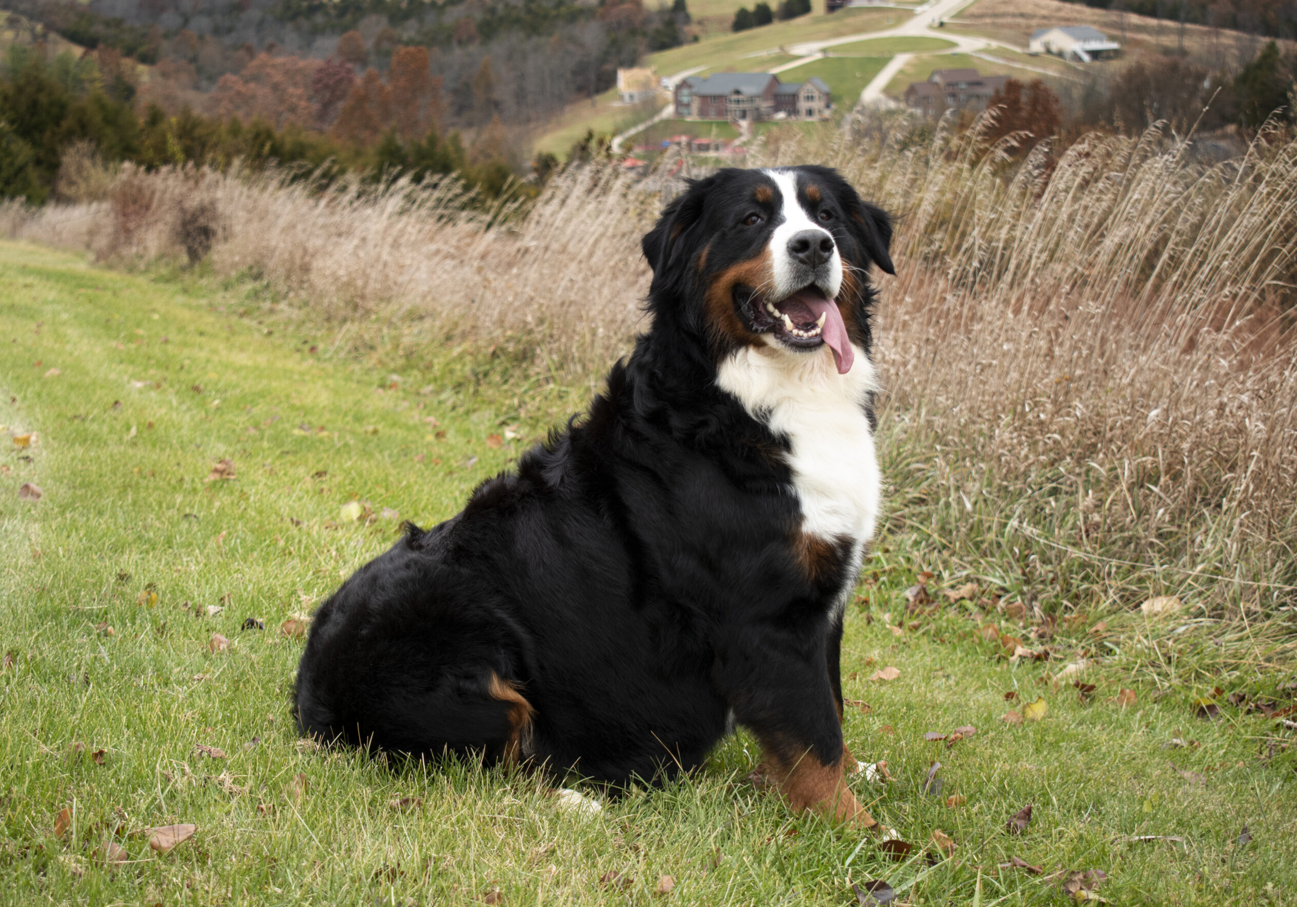 Giovanna Bernese Mountain dog