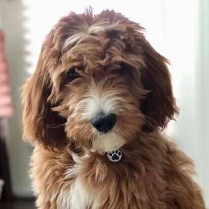 Red and white Irishdoodle