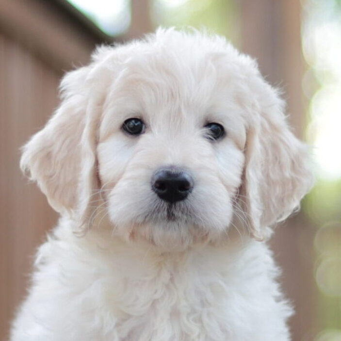 English Goldendoodle
