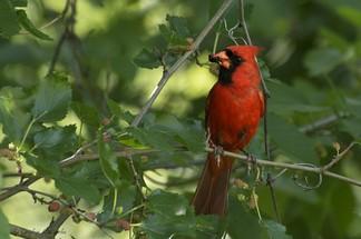 Arizona northern cardinal bird