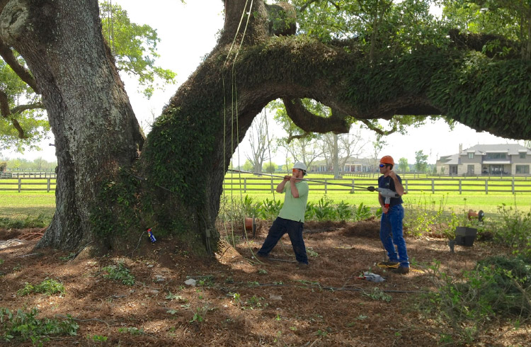 Polo Grounds Oak Tree Cabling and Bracing