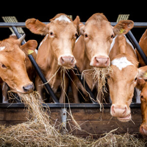 Inquisitive cows eating hay in a barn