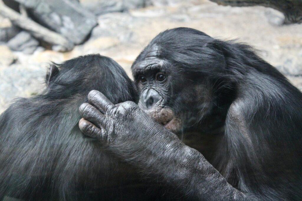 Maymunlar da insanlar gibi selamlaşıyorlar