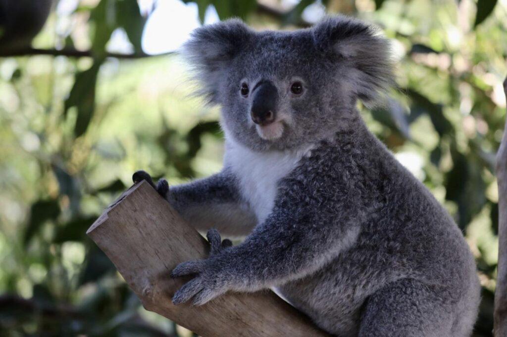 Avustralya'da koalaların sayısı azalıyor