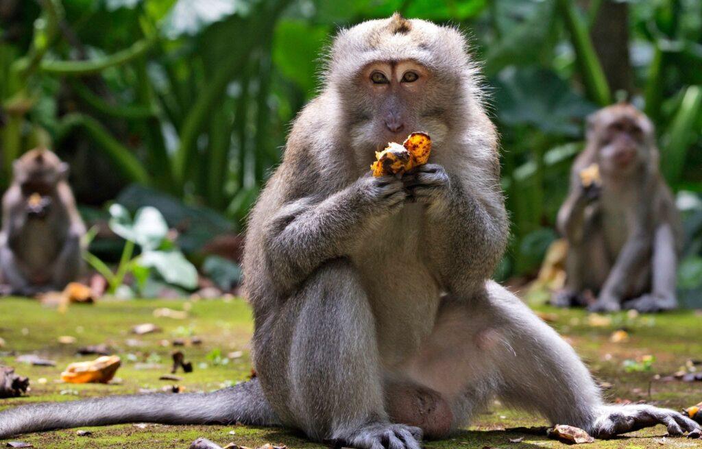 Endonezya'da maymunlar hırsızlık yapmaya başladı