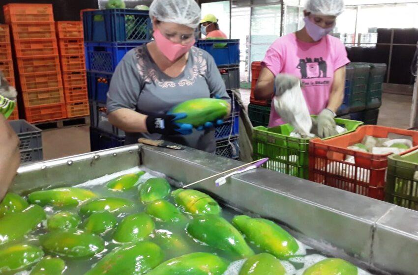 Exportan papaya chiricana hacia Canadá y EE.UU