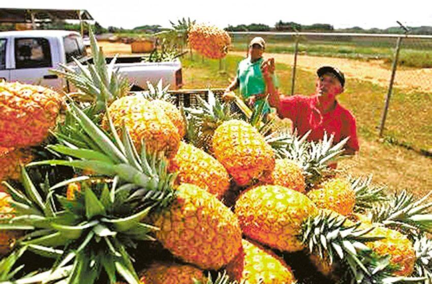 Exportaciones de calabaza y piña panameña llegan a  Europa