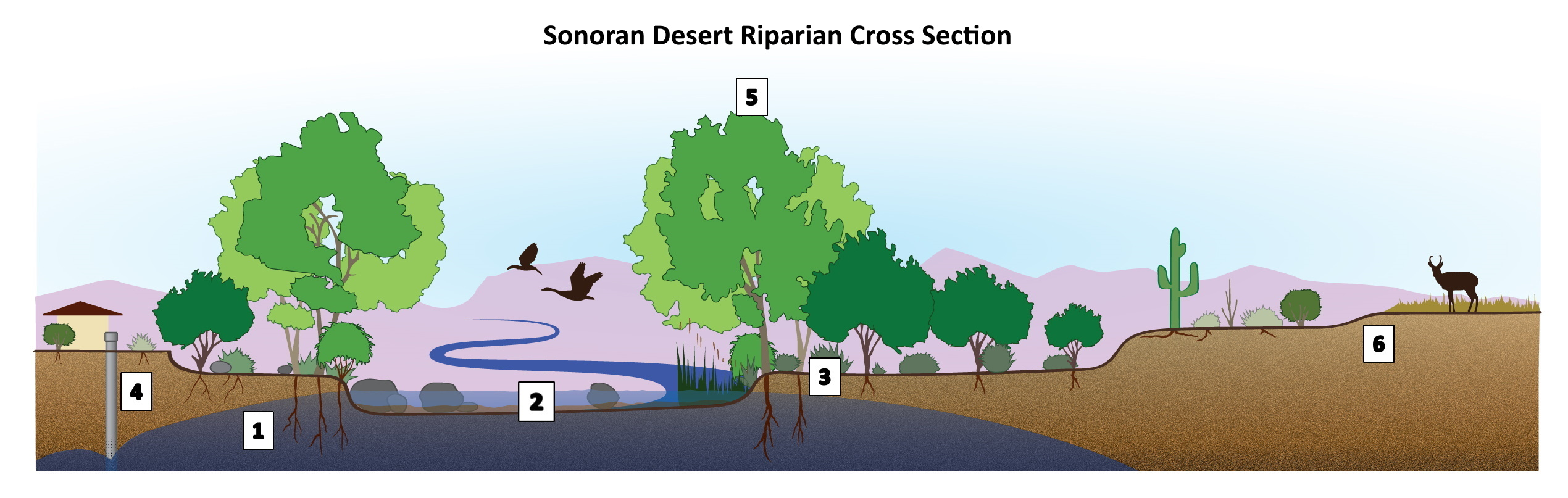 DesertRiparianSectionGraphic NUM-titled 2019-12-9