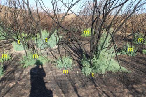 Picture shows Mesquite and Tamarisk recovering 2 months after fire