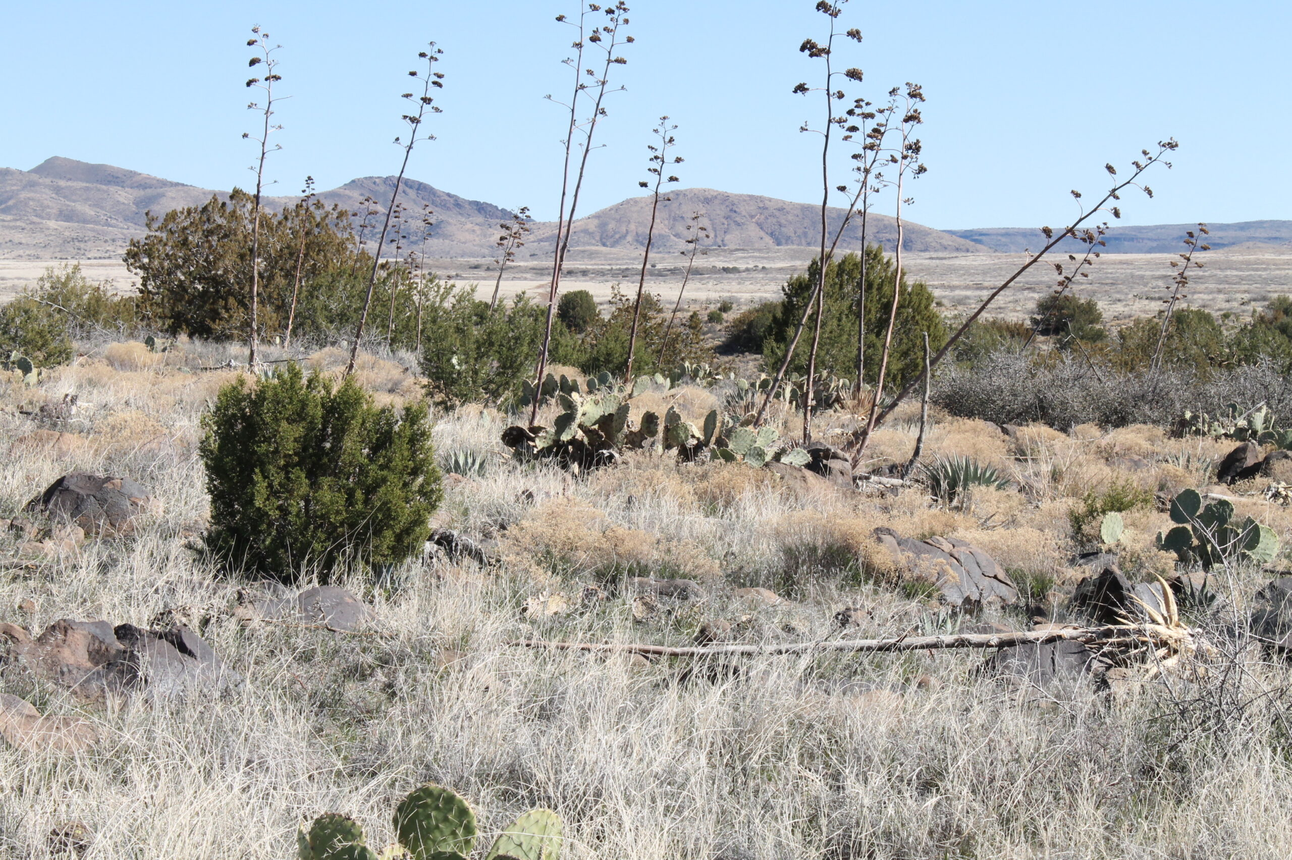 agave remants