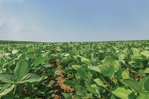 Dicamba Damaged crops