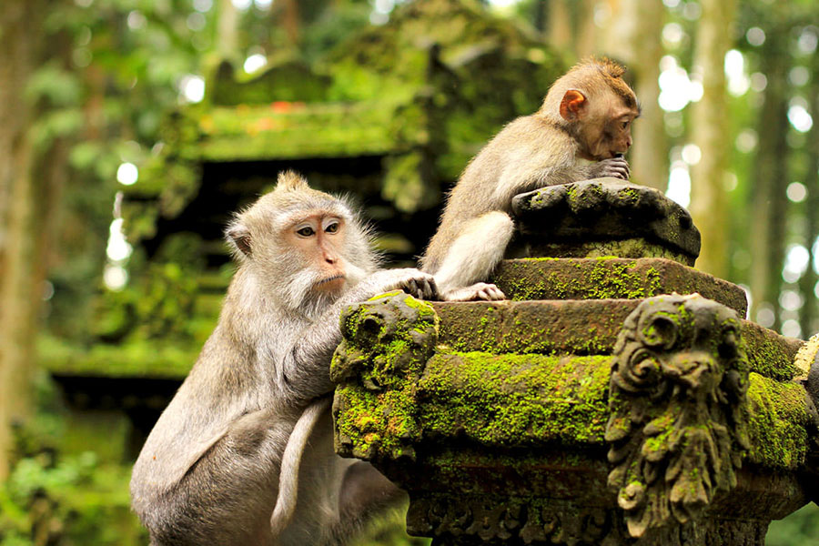 Monkey Forest Bali Safest Driver Ubud Tour Combination 1 - Bali Driver Tour Sightseeing