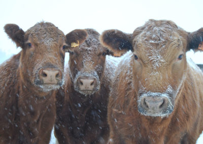 winter group of cow, valley springs farm, reedsburg, WI