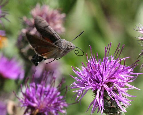 hummingbird-moth