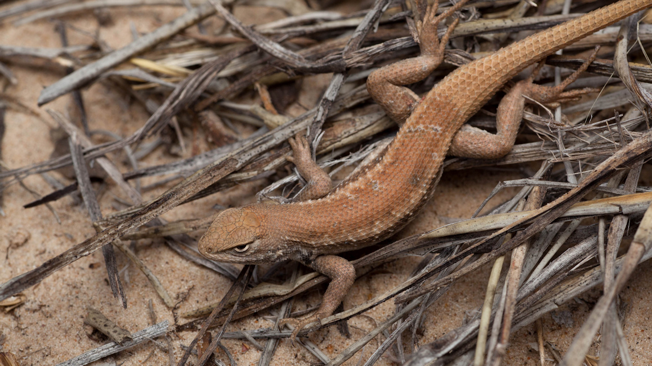 The Dunes Sagebrush Lizard and the Endangered Species Act