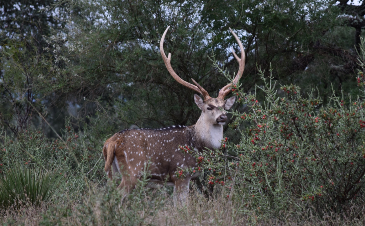 Texas Axis Deer