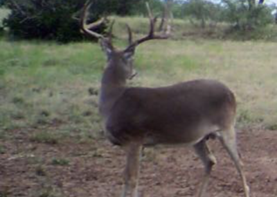Central Texas Whitetail Deer