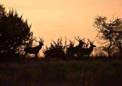 Red Stag Sunset