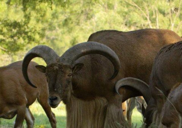 Aoudad Hunting Information