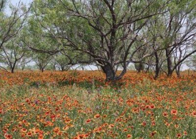 TX Field of Flowers