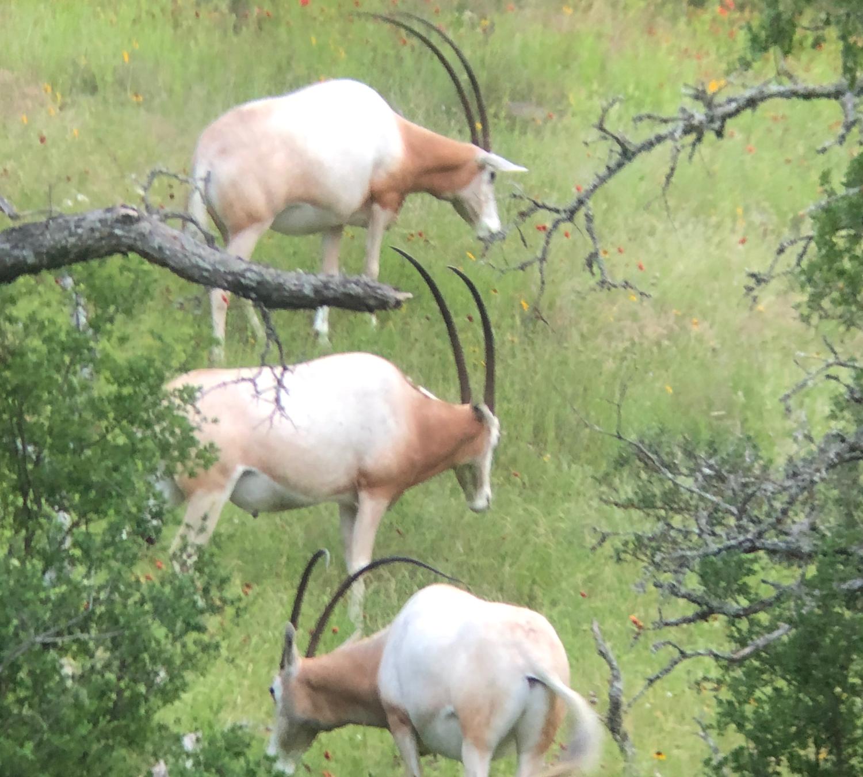 Texas Scimitar Horned Oryx