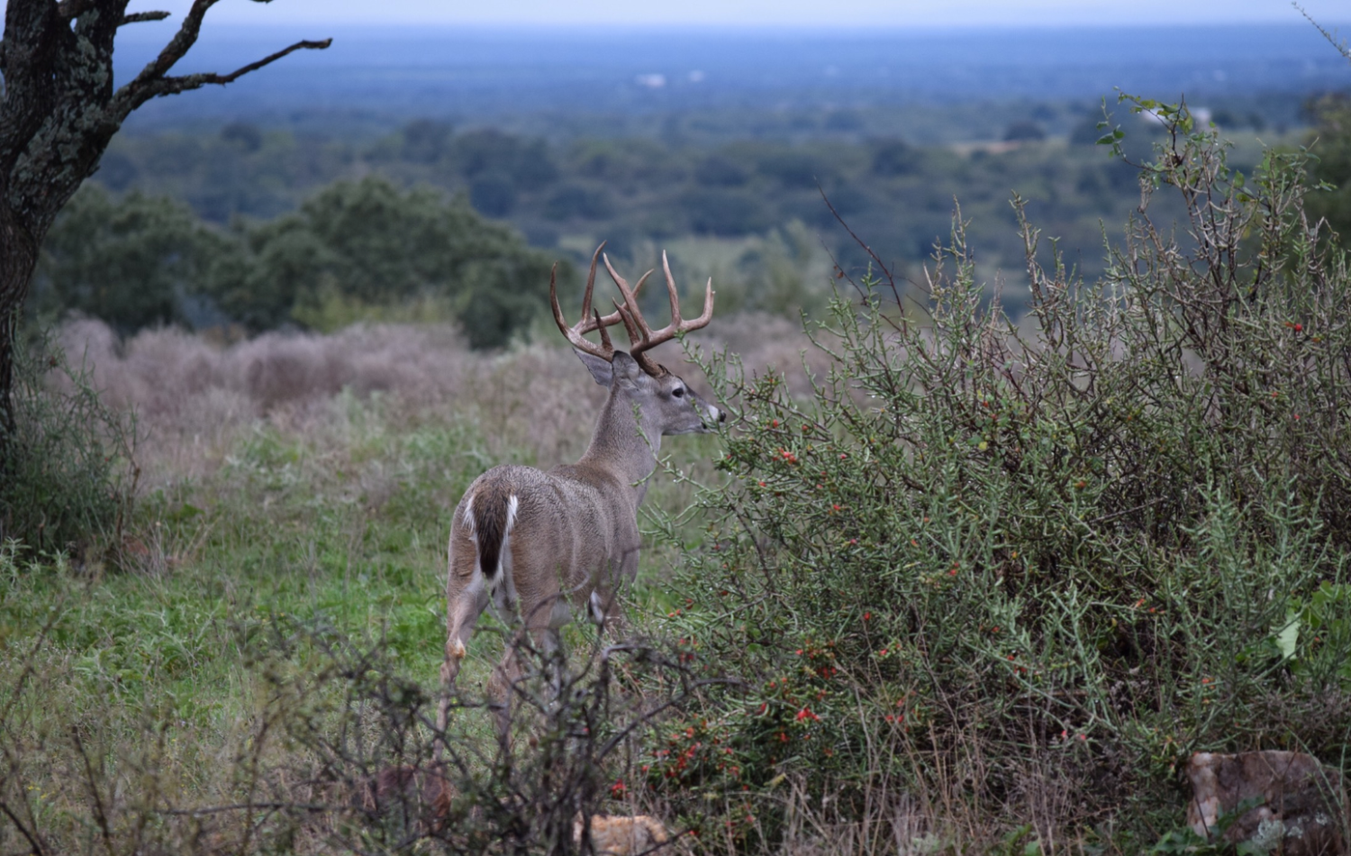 Texas Whitetail Deer