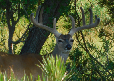 Texas Whitetail in Velvet