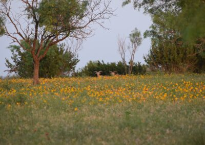 aoudad in wild flowers