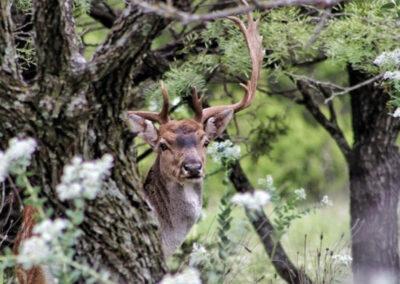 Fallow Deer Hunt in Texas